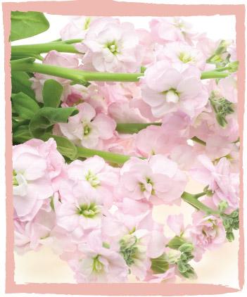 Stock   Cut Flowers   Dear Delilah Florist