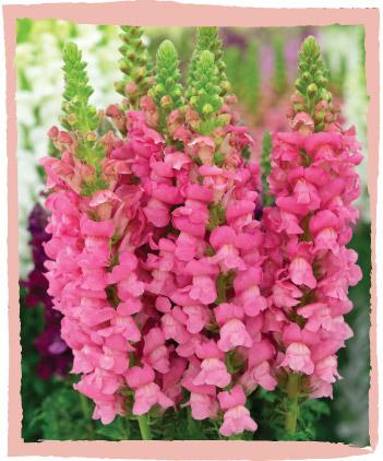 Snapdragons | Cut Flowers | Dear Delilah Florist