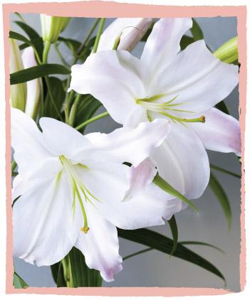 Oriental Lilies | Cut Flowers | Dear Delilah Florist