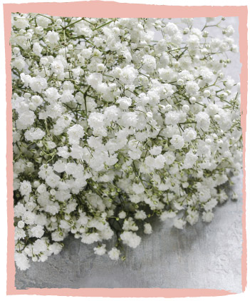 Superior Gypsophila | Cut Flowers | Dear Delilah Florist